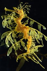 Leafy_sea_dragon-web